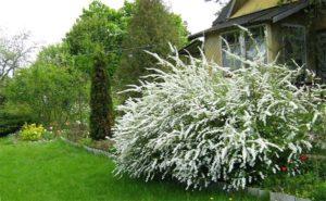 спирея аргута в саду