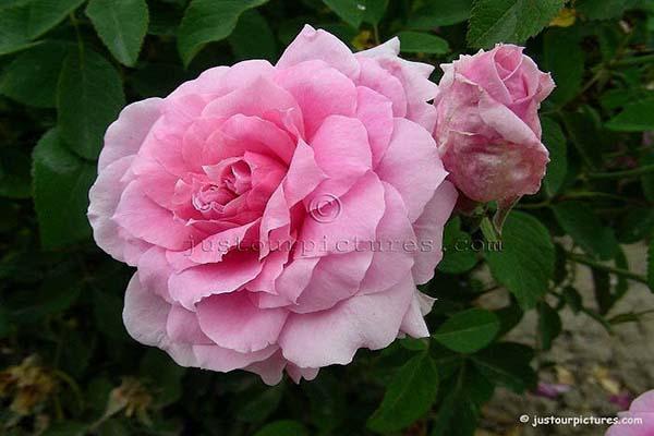 зимостйкие розы , розы остина