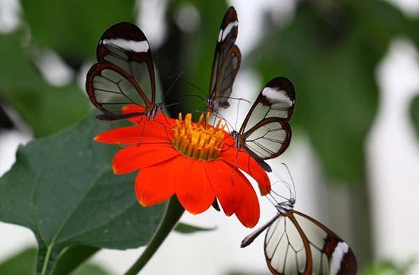 титония цветок рыжий фонарь