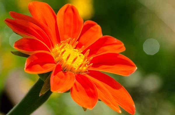 титония цветок факел