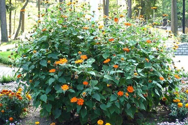титония в саду