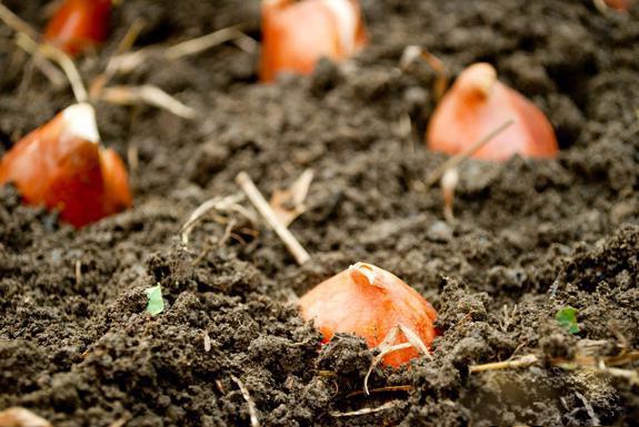 Когда сажать тюльпаны в открытый грунт осенью в спб 26