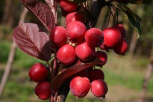 красные кустарники яблоня