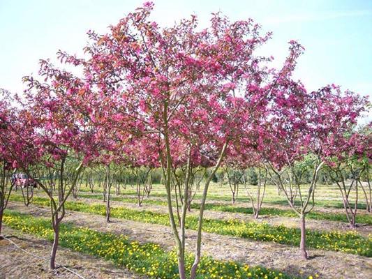 кустарники красного цвета яблоня