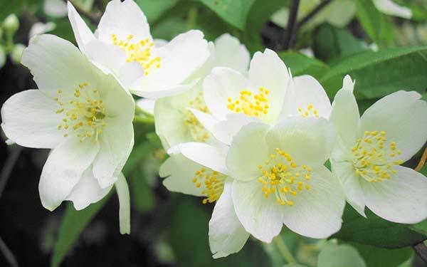 самые ароматные цветы