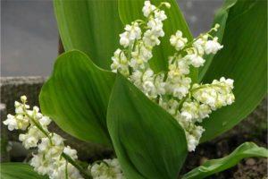 ландыш садовый Flore Plena