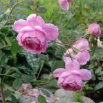 чайно-гибридная роза сорта