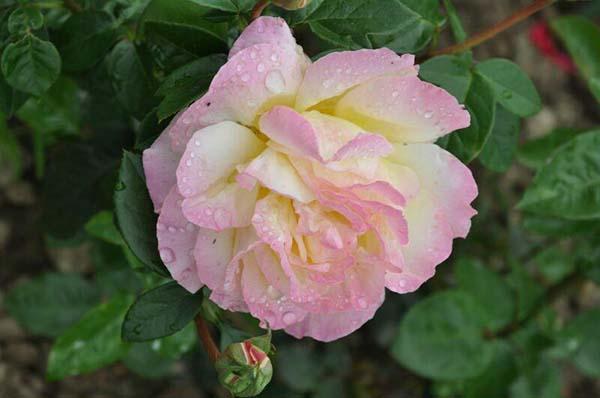сорта роз устойчивых к мучнистой росе