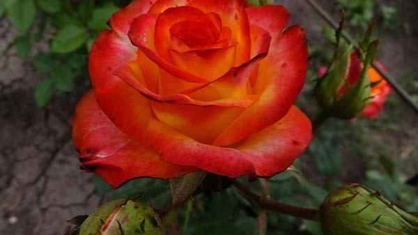 чайно-гибридные розы сорта