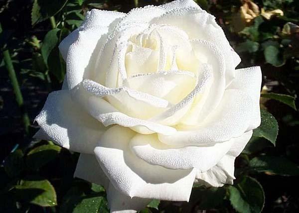 чайно-гибридная роза, сорта
