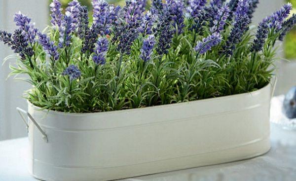 интересные факты о цветах - лаванда