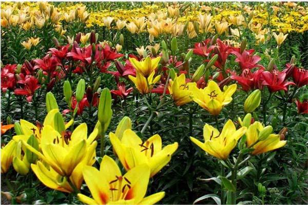 желтеют лилии