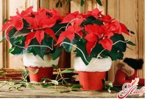 рождественский цветок звезда пуансетия