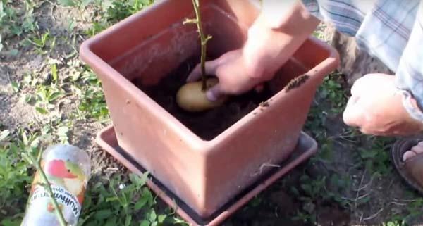 черенки розы в картошке