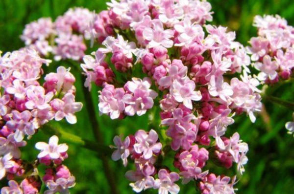 интересные факты о цветах - валериана