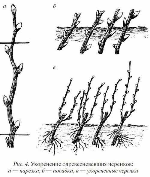 калина бульденеж размножение черенками