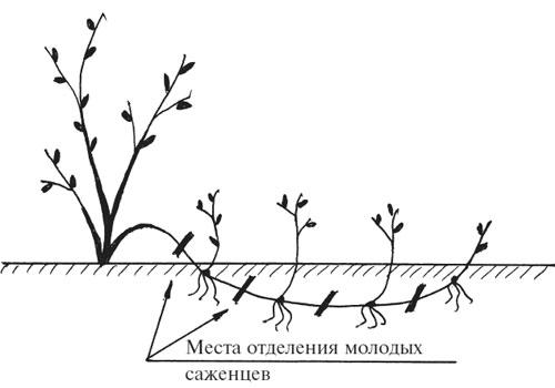 калина бульденеж размножение отводками