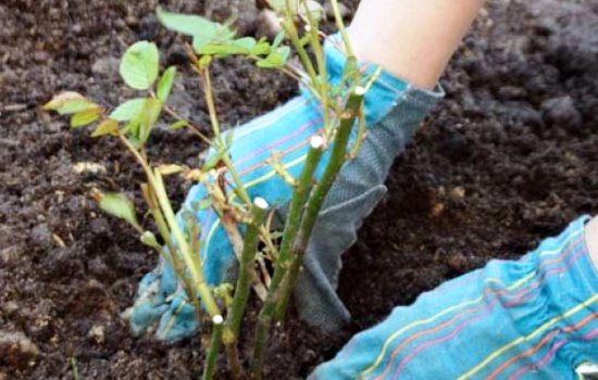 как посадить розу осенью