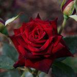 роза блэк баккара фото
