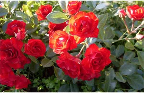роза скарлетт