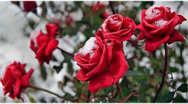 укрыть розу зимой
