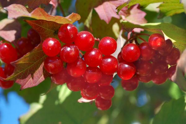 ягоды калины полезные свойства