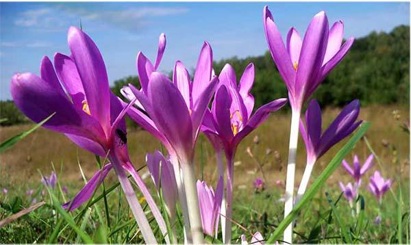 цветок безвременник