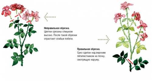 комнатная роза обрезка