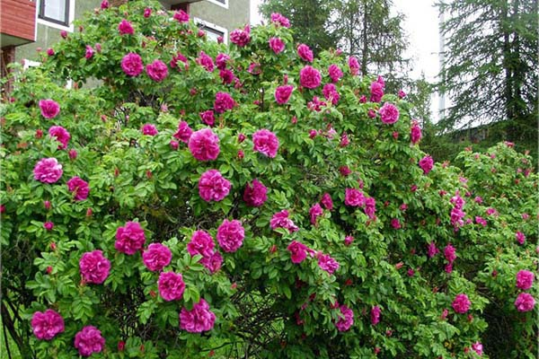 роза морщинистая ханса