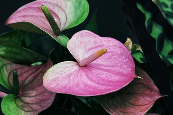красивые цветы цветущие круглый год - антуриум