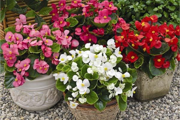 комнатные цветы цветущие круглый год - бегония