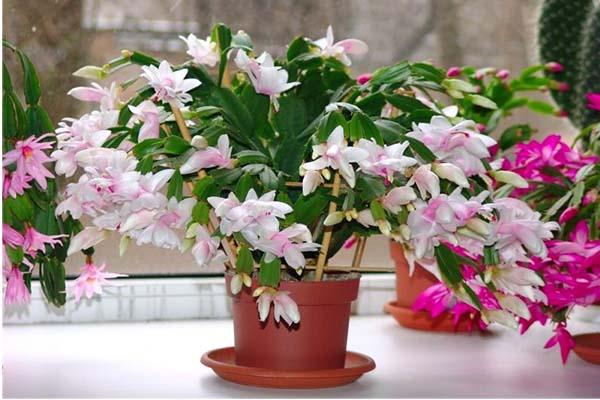 комнатные цветы цветущие круглый год - декабрист