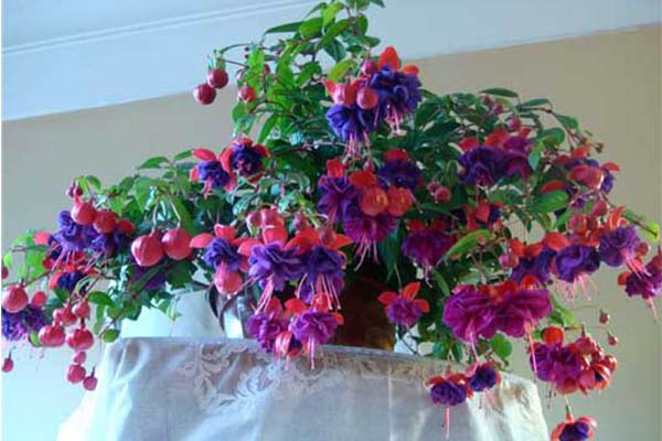 Комнатные цветы цветущие круглый год - фуксия