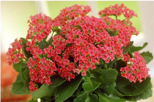 комнатные цветы цветущие круглый год - каланхоэ