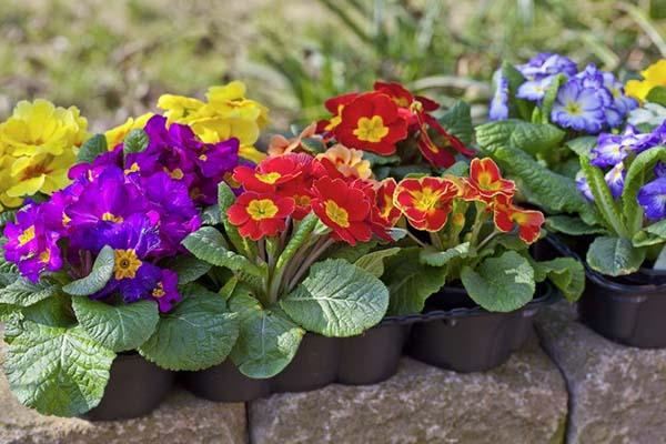 комнатный цветы цветущие круглый год - примула