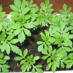 бархатцы выращивание из семян