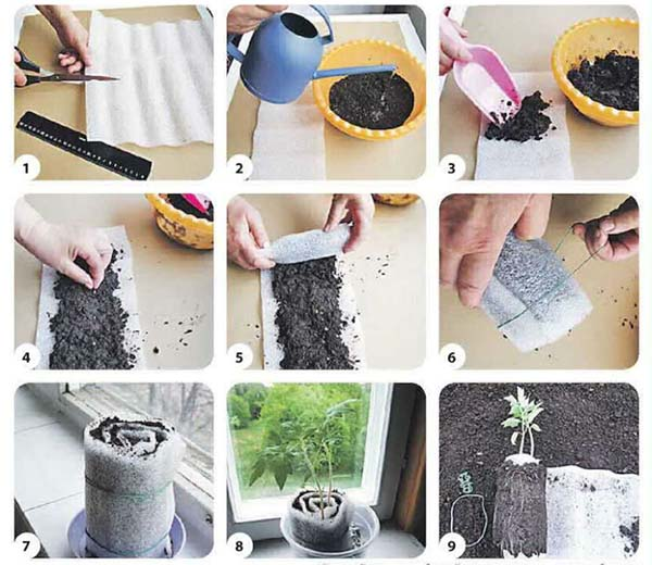 выращивание рассады цветов в улитке