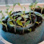 выращивание рассады в улитке