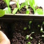 петуния из семян