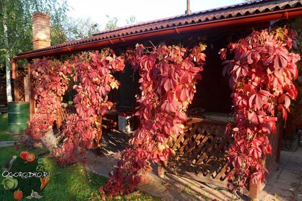 Девичий виноград в ландшафтном дизайне