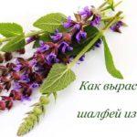 шалфей из семян