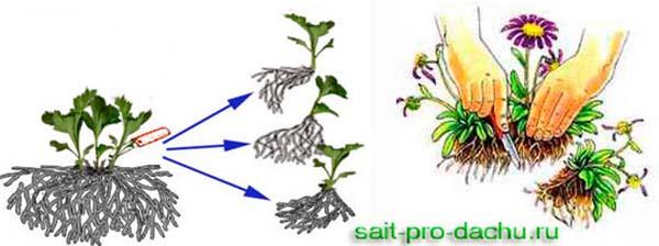 размножение хризантем делением куста