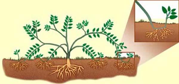 Размножение хризантем отводками