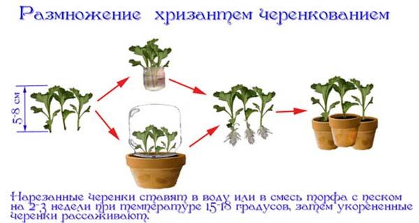 Размноежение хризантем черенкованием
